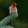 1427313_66874007 red headed finch bird