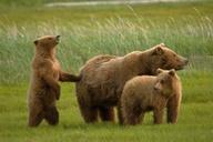 mother bear instincts